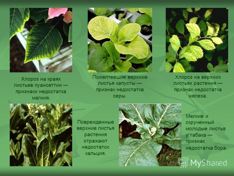 8 Хлороз на краях листьев пуансеттии признаки недостатка магния. Поврежденные верхние листья растения отражают недостаток кальция. Пожелтевшие верхние листья капусты признак недостатка серы. Хлороз на верхних листьях растения признак недостатка желез