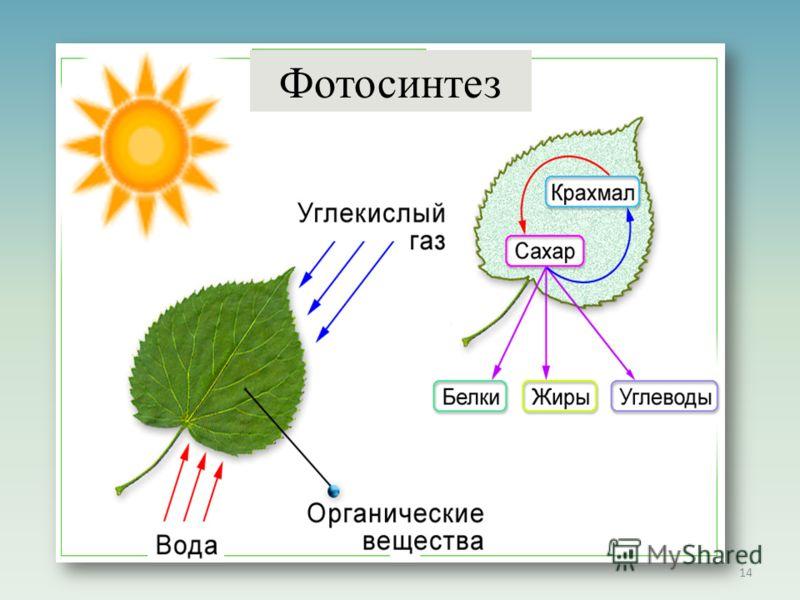 14 Фотосинтез