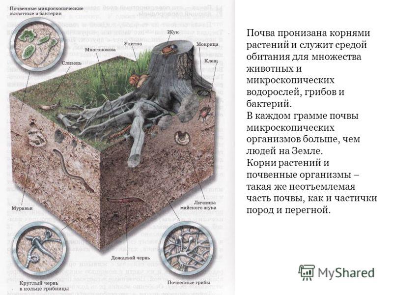Почва пронизана корнями растений и служит средой обитания для множества животных и микроскопических водорослей, грибов и бактерий. В каждом грамме почвы микроскопических организмов больше, чем людей на Земле. Корни растений и почвенные организмы – та