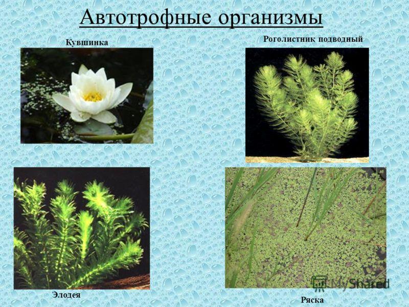Автотрофные организмы Роголистник подводный Ряска Элодея Кувшинка