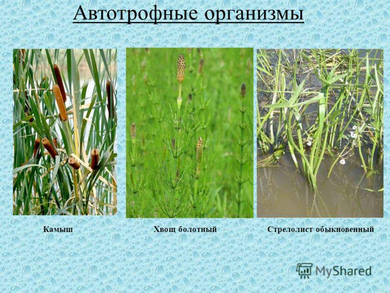 КамышХвощ болотныйСтрелолист обыкновенный Автотрофные организмы
