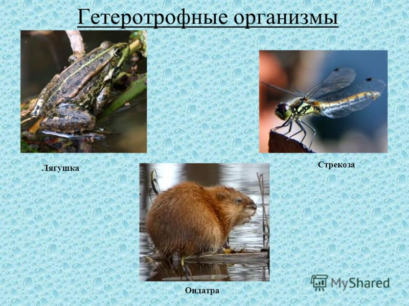 Гетеротрофные организмы Лягушка Стрекоза Ондатра