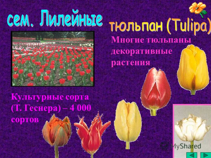 Многие тюльпаны декоративные растения Культурные сорта (Т. Геснера) – 4 000 сортов