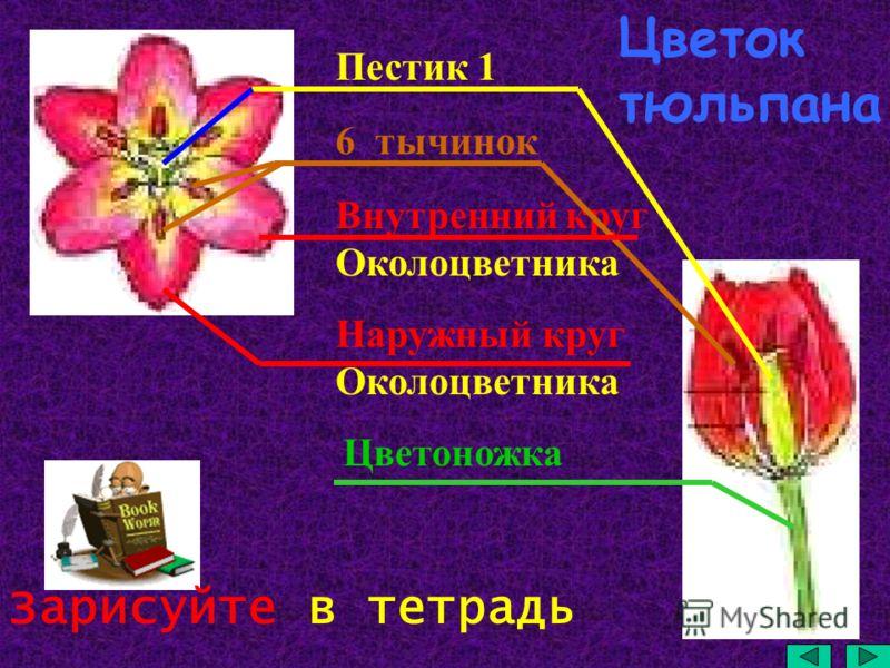 Пестик 1 6 тычинок Внутренний круг Околоцветника Наружный круг Околоцветника Цветоножка Зарисуйте в тетрадь Цветок тюльпана