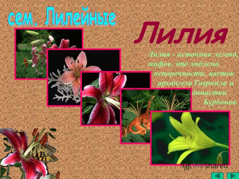 Лилия - источник легенд, мифов, это эмблема непорочности, цветок архангела Гавриила и династии Бурбонов.