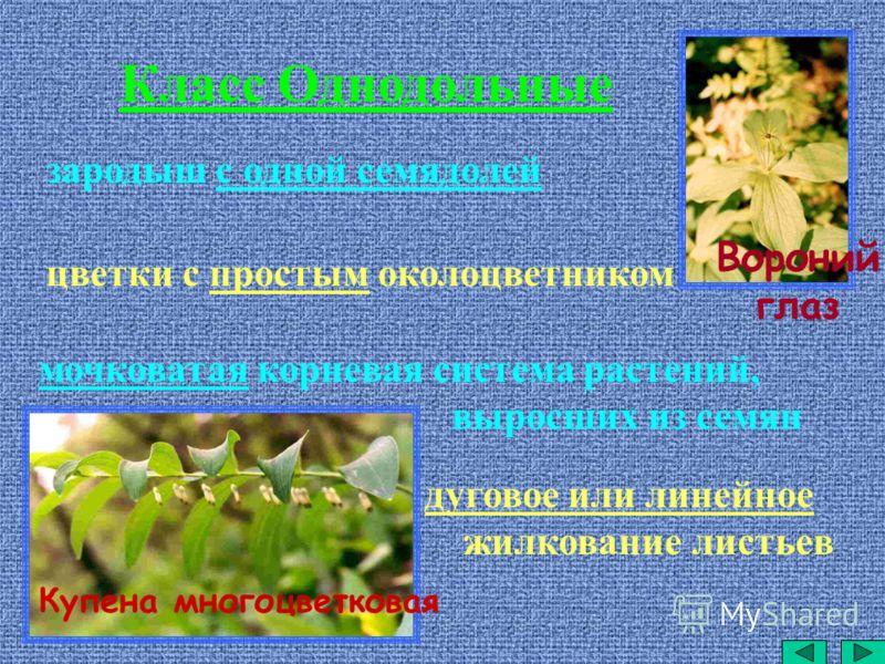 дуговое или линейное жилкование листьев Класс Однодольные зародыш с одной семядолей цветки с простым околоцветником мочковатая корневая система растений, выросших из семян Купена многоцветковая Вороний глаз