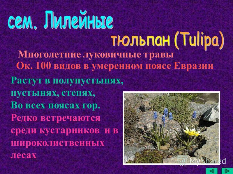 Многолетние луковичные травы Ок. 100 видов в умеренном поясе Евразии Растут в полупустынях, пустынях, степях, Во всех поясах гор. Редко встречаются среди кустарников и в широколиственных лесах