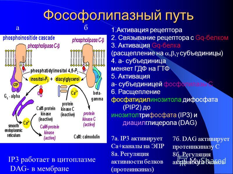Фософолипазный путь 1.Активация рецептора 2. Связывание рецептора с Gq-белком 3. Активация Gq-белка (расщепление на субъединицы) 4. a- субъединица меняет ГДФ на ГТФ 5. Активация a- субъединицей фосфолипазы С 6. Расщепление фосфатидилинозитола дифосфа