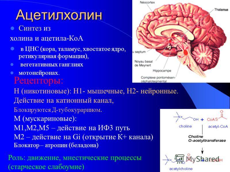 Ацетилхолин Синтез из холина и ацетила-КоА в ЦНС (кора, таламус, хвостатое ядро, ретикулярная формация), вегетативных ганглиях мотонейронах. Рецепторы: Н (никотиновые): Н1- мышечные, Н2- нейронные. Действие на катионный канал, Блокируются Д-тубокурар
