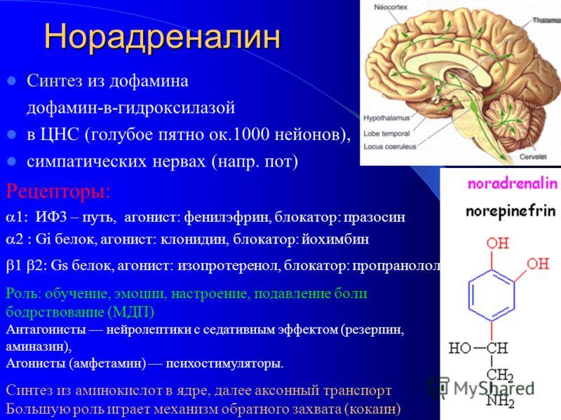 Норадреналин Синтез из дофамина дофамин-в-гидроксилазой в ЦНС (голубое пятно ок.1000 нейонов), симпатических нервах (напр. пот) Рецепторы: ИФ3 – путь, агонист: фенилэфрин, блокатор: празосин Gi белок, агонист: клонидин, блокатор: йохимбин Gs белок, а