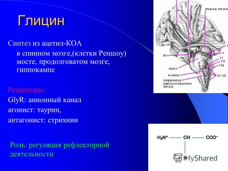 Глицин Синтез из ацетил-КОА в спинном мозге,(клетки Реншоу) мосте, продолговатом мозге, гиппокампе Рецепторы: GlyR: анионный канал агонист: таурин, антагонист: стрихнин Роль: регуляция рефлекторной деятельности