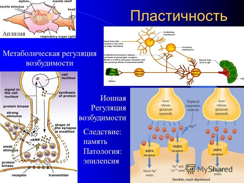 Пластичность Метаболическая регуляция возбудимости Ионная Регуляция возбудимости Аплизия Следствие: память Патология: эпилепсия