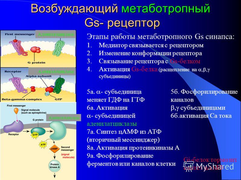 Возбуждающий метаботропный Gs- рецептор Этапы работы метаботропного Gs синапса: 1.Медиатор связывается с рецептором 2.Изменение конформации рецептора 3.Связывание рецептора с Gs-белком 4.Активация Gs-белка (расщепление на субъединицы) а - субъединица