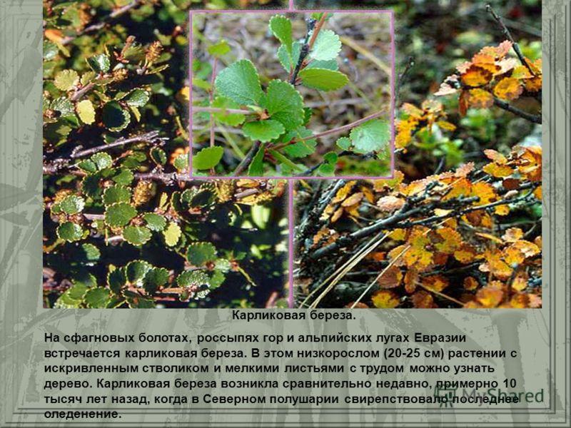 Карликовая береза. На сфагновых болотах, россыпях гор и альпийских лугах Евразии встречается карликовая береза. В этом низкорослом (20-25 см) растении с искривленным стволиком и мелкими листьями с трудом можно узнать дерево. Карликовая береза возникл