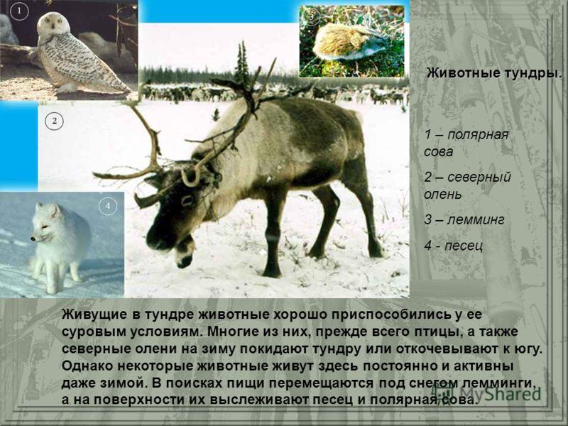 Животные тундры. Живущие в тундре животные хорошо приспособились у ее суровым условиям. Многие из них, прежде всего птицы, а также северные олени на зиму покидают тундру или откочевывают к югу. Однако некоторые животные живут здесь постоянно и активн