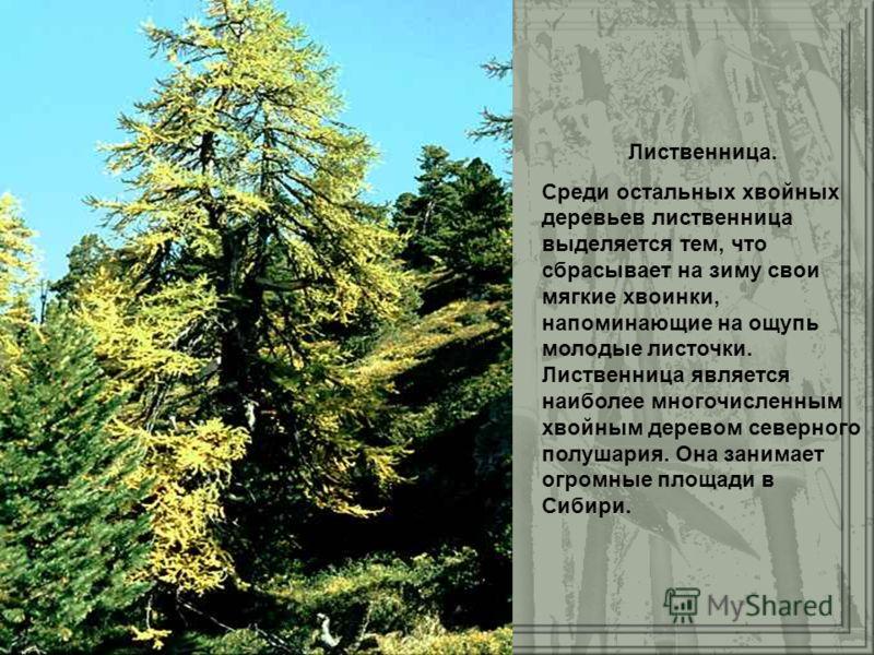 Лиственница. Среди остальных хвойных деревьев лиственница выделяется тем, что сбрасывает на зиму свои мягкие хвоинки, напоминающие на ощупь молодые листочки. Лиственница является наиболее многочисленным хвойным деревом северного полушария. Она занима