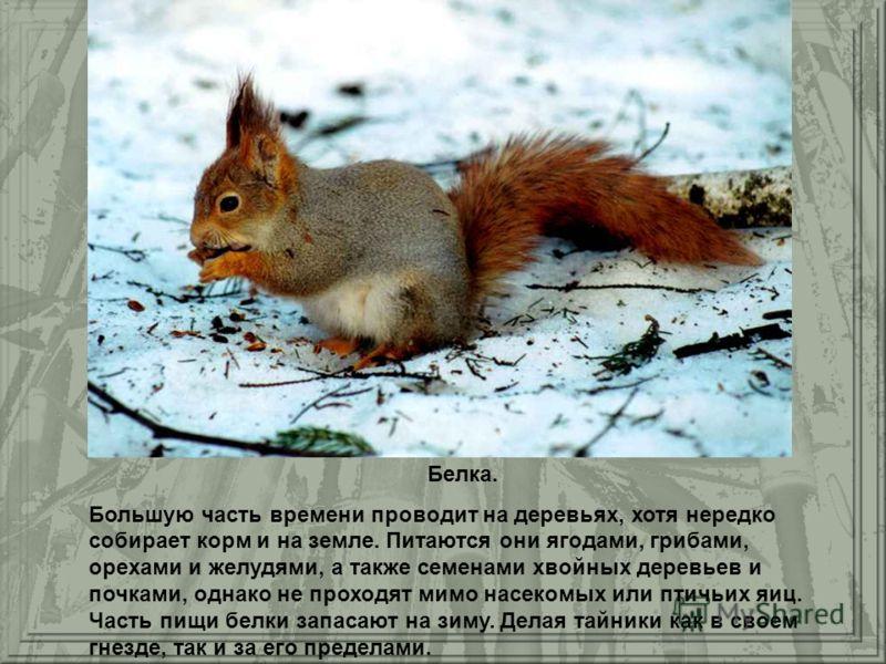 Белка. Большую часть времени проводит на деревьях, хотя нередко собирает корм и на земле. Питаются они ягодами, грибами, орехами и желудями, а также семенами хвойных деревьев и почками, однако не проходят мимо насекомых или птичьих яиц. Часть пищи бе