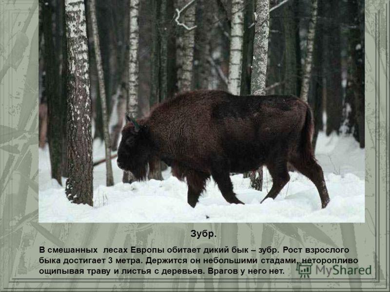 Зубр. В смешанных лесах Европы обитает дикий бык – зубр. Рост взрослого быка достигает 3 метра. Держится он небольшими стадами, неторопливо ощипывая траву и листья с деревьев. Врагов у него нет.