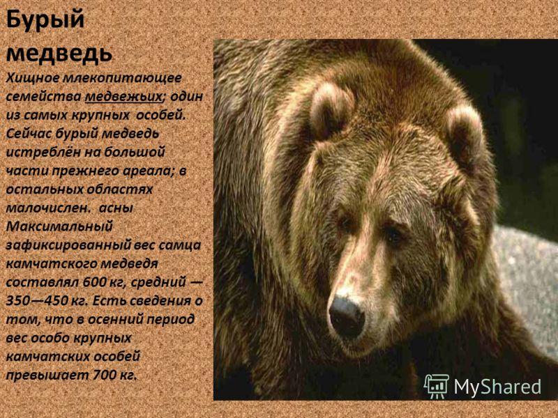 Бурый медведь Хищное млекопитающее семейства медвежьих; один из самых крупных особей. Сейчас бурый медведь истреблён на большой части прежнего ареала; в остальных областях малочислен. асны Максимальный зафиксированный вес самца камчатского медведя со