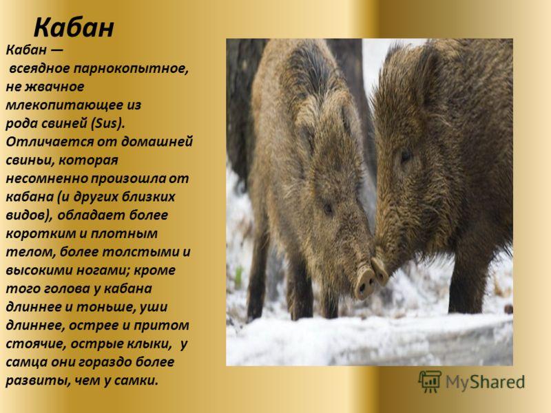 Кабан Кабан всеядное парнокопытное, не жвачное млекопитающее из рода свиней (Sus). Отличается от домашней свиньи, которая несомненно произошла от кабана (и других близких видов), обладает более коротким и плотным телом, более толстыми и высокими нога