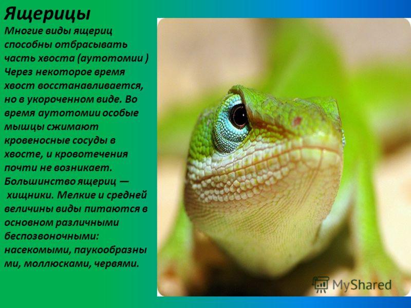 Ящерицы Многие виды ящериц способны отбрасывать часть хвоста (аутотомии ) Через некоторое время хвост восстанавливается, но в укороченном виде. Во время аутотомии особые мышцы сжимают кровеносные сосуды в хвосте, и кровотечения почти не возникает. Бо
