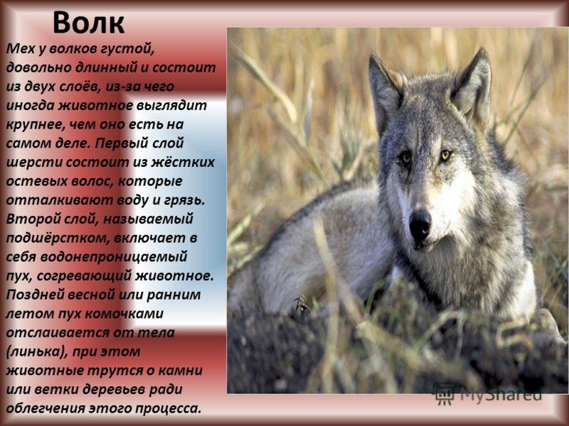 Волк Мех у волков густой, довольно длинный и состоит из двух слоёв, из-за чего иногда животное выглядит крупнее, чем оно есть на самом деле. Первый слой шерсти состоит из жёстких остевых волос, которые отталкивают воду и грязь. Второй слой, называемы