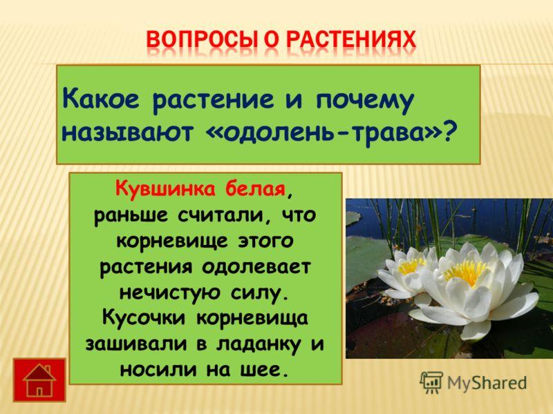 Какое растение и почему называют «одолень-трава»? Кувшинка белая, раньше считали, что корневище этого растения одолевает нечистую силу. Кусочки корневища зашивали в ладанку и носили на шее.