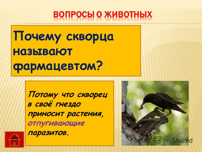 Почему скворца называют фармацевтом? Потому что скворец в своё гнездо приносит растения, отпугивающие паразитов..