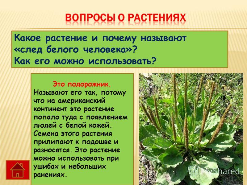 Какое растение и почему называют «след белого человека»? Как его можно использовать? Это подорожник. Называют его так, потому что на американский континент это растение попало туда с появлением людей с белой кожей. Семена этого растения прилипают к п