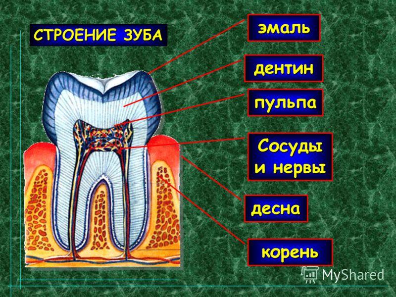 эмаль дентин пульпа корень Сосуды и нервы десна СТРОЕНИЕ ЗУБА