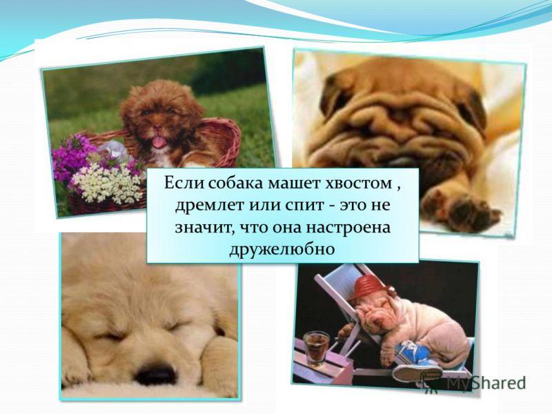 Если собака машет хвостом, дремлет или спит - это не значит, что она настроена дружелюбно