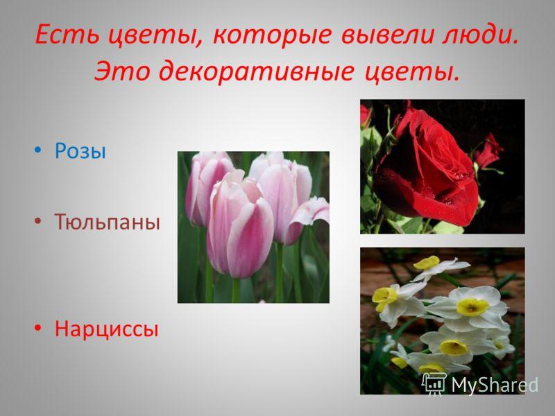 Есть цветы, которые вывели люди. Это декоративные цветы. Розы Тюльпаны Нарциссы