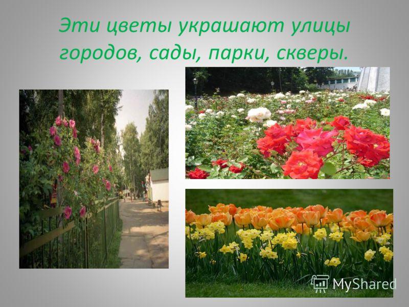 Эти цветы украшают улицы городов, сады, парки, скверы.