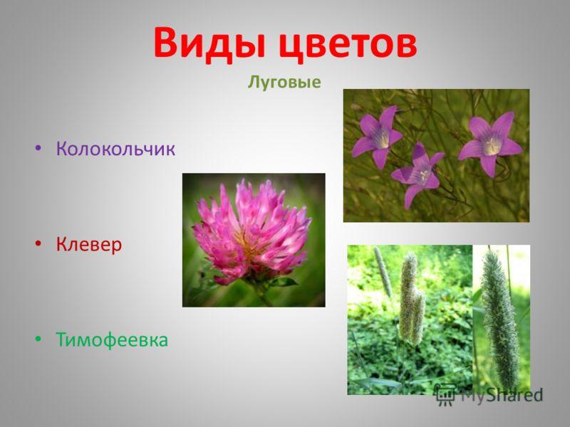 Виды цветов Луговые Колокольчик Клевер Тимофеевка