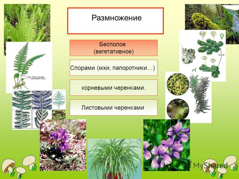 Размножение Бесполое (вегетативное) Спорами (мхи, папоротники…) Листовыми черенками корневыми черенками.
