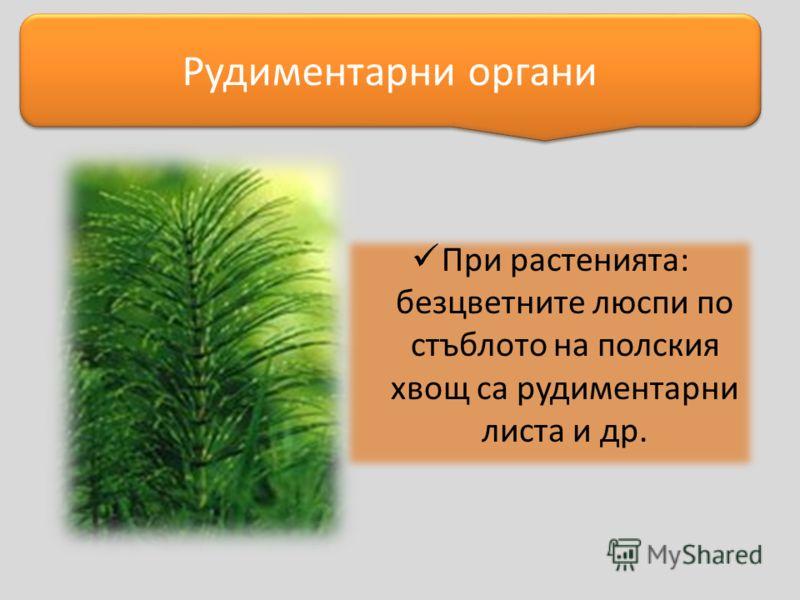 При растенията: безцветните люспи по стъблото на полския хвощ са рудиментарни листа и др. Рудиментарни органи