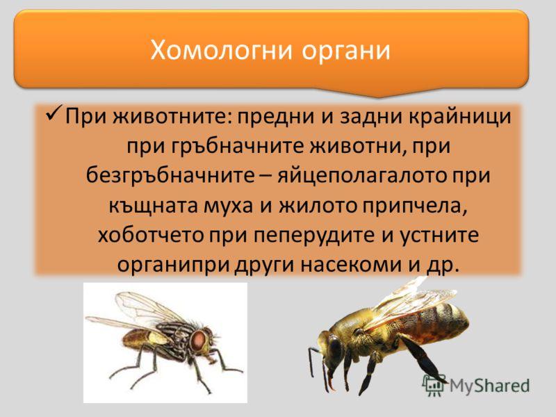При животните: предни и задни крайници при гръбначните животни, при безгръбначните – яйцеполагалото при къщната муха и жилото припчела, хоботчето при пеперудите и устните органипри други насекоми и др. Хомологни органи