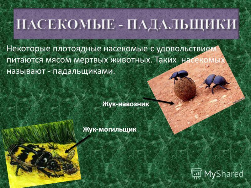 Муравей Стрекоза Жужелица Божья коровка НАСЕКОМЫЕ - хищники питаются мясом других насекомых, они охотятся и поедают их. Насекомые - хищники могут напасть даже на людей.