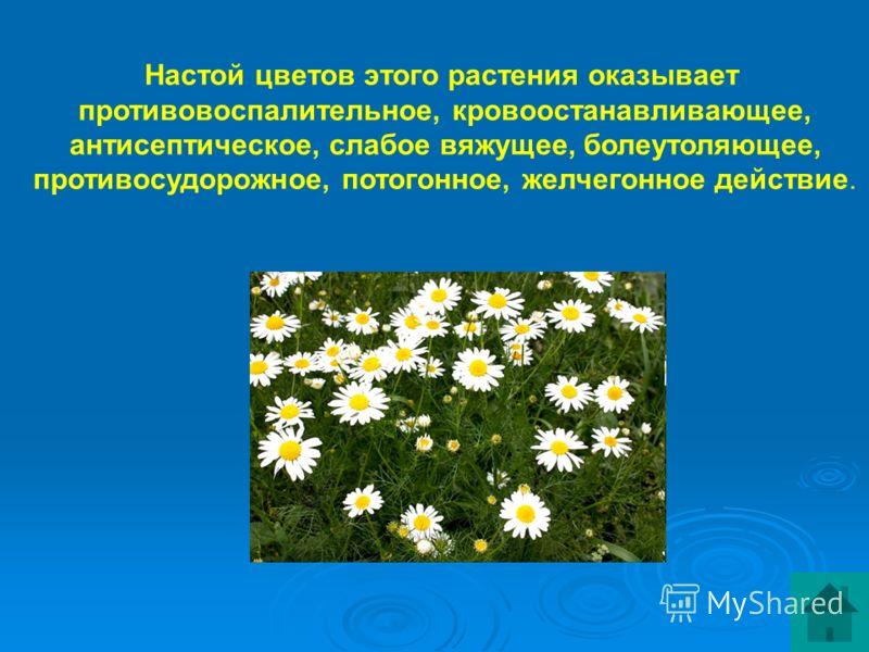 Настой цветов этого растения оказывает противовоспалительное, кровоостанавливающее, антисептическое, слабое вяжущее, болеутоляющее, противосудорожное, потогонное, желчегонное действие.