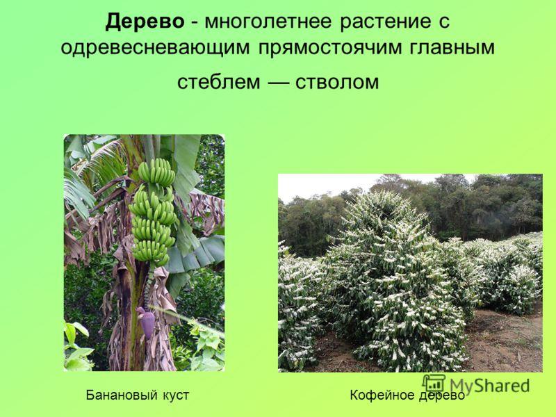 Дерево - многолетнее растение с одревесневающим прямостоячим главным стеблем стволом Банановый кустКофейное дерево