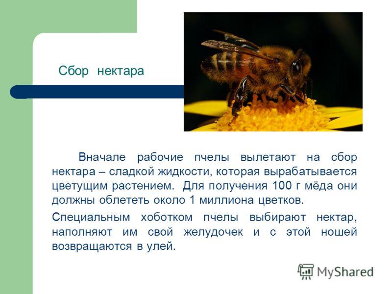 Сбор нектара Вначале рабочие пчелы вылетают на сбор нектара – сладкой жидкости, которая вырабатывается цветущим растением. Для получения 100 г мёда они должны облететь около 1 миллиона цветков. Специальным хоботком пчелы выбирают нектар, наполняют им