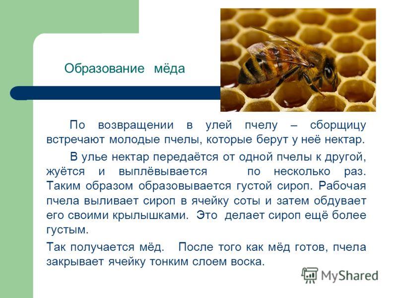 Образование мёда По возвращении в улей пчелу – сборщицу встречают молодые пчелы, которые берут у неё нектар. В улье нектар передаётся от одной пчелы к другой, жуётся и выплёвывается по несколько раз. Таким образом образовывается густой сироп. Рабочая