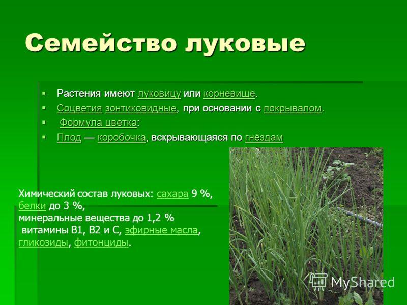 Семейство луковые Растения имеют луковицу или корневище. Растения имеют луковицу или корневище.луковицукорневищелуковицукорневище Соцветия зонтиковидные, при основании с покрывалом. Соцветия зонтиковидные, при основании с покрывалом. Соцветиязонтиков