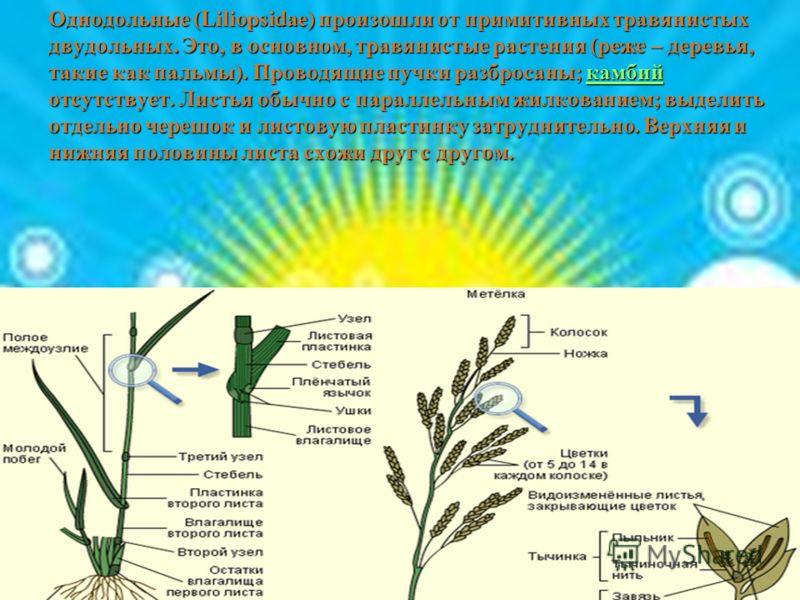 Однодольные (Liliopsidae) произошли от примитивных травянистых двудольных. Это, в основном, травянистые растения (реже – деревья, такие как пальмы). Проводящие пучки разбросаны; камбий отсутствует. Листья обычно с параллельным жилкованием; выделить о
