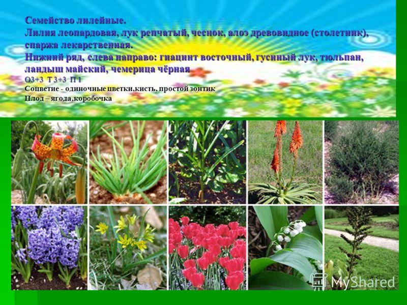 Семейство лилейные. Лилия леопардовая, лук репчатый, чеснок, алоэ древовидное (столетник), спаржа лекарственная. Нижний ряд, слева направо: гиацинт восточный, гусиный лук, тюльпан, ландыш майский, чемерица чёрная О3+3 Т 3+3 П 1 Соцветие - одиночные ц