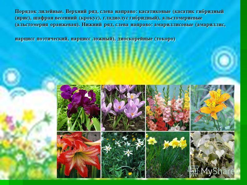 Порядок лилейные. Верхний ряд, слева направо: касатиковые (касатик гибридный (ирис), шафран весенний (крокус), гладиолус гибридный), альстомериевые (альстомерия оранжевая). Нижний ряд, слева направо: амариллисовые (амариллис, нарцисс поэтический, нар