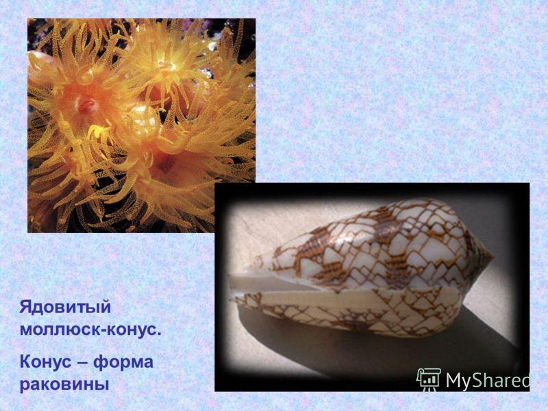 Ядовитый моллюск-конус. Конус – форма раковины