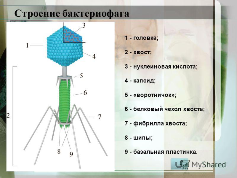 Строение бактериофага 1 - головка; 2 - хвост; 3 - нуклеиновая кислота; 4 - капсид; 5 - «воротничок»; 6 - белковый чехол хвоста; 7 - фибрилла хвоста; 8 - шипы; 9 - базальная пластинка.
