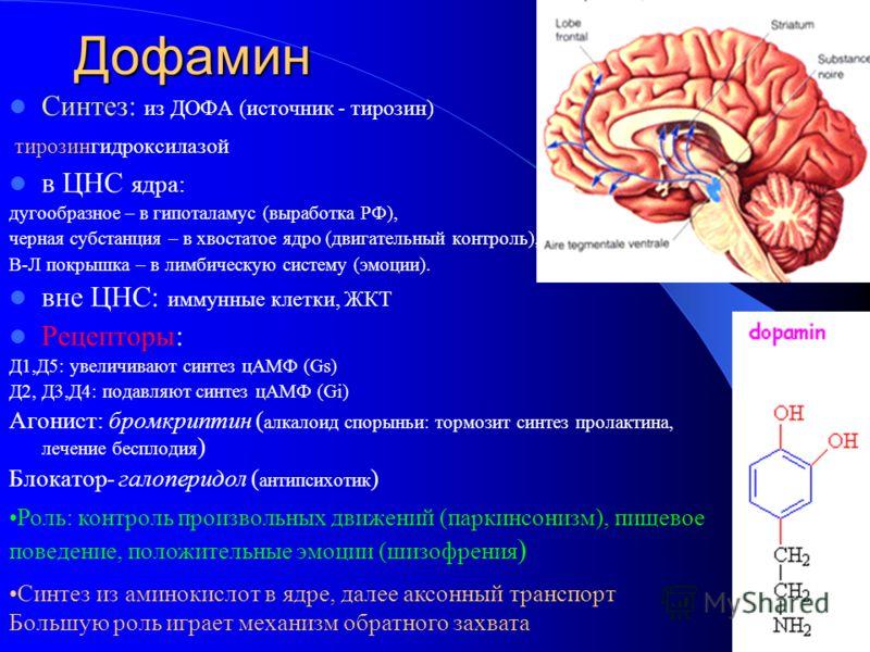Дофамин Синтез: из ДОФА (источник - тирозин) тирозингидроксилазой в ЦНС ядра: дугообразное – в гипоталамус (выработка РФ), черная субстанция – в хвостатое ядро (двигательный контроль), В-Л покрышка – в лимбическую систему (эмоции). вне ЦНС: иммунные
