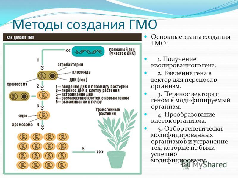 Методы создания ГМО Основные этапы создания ГМО: 1. Получение изолированного гена. 2. Введение гена в вектор для переноса в организм. 3. Перенос вектора с геном в модифицируемый организм. 4. Преобразование клеток организма. 5. Отбор генетически модиф